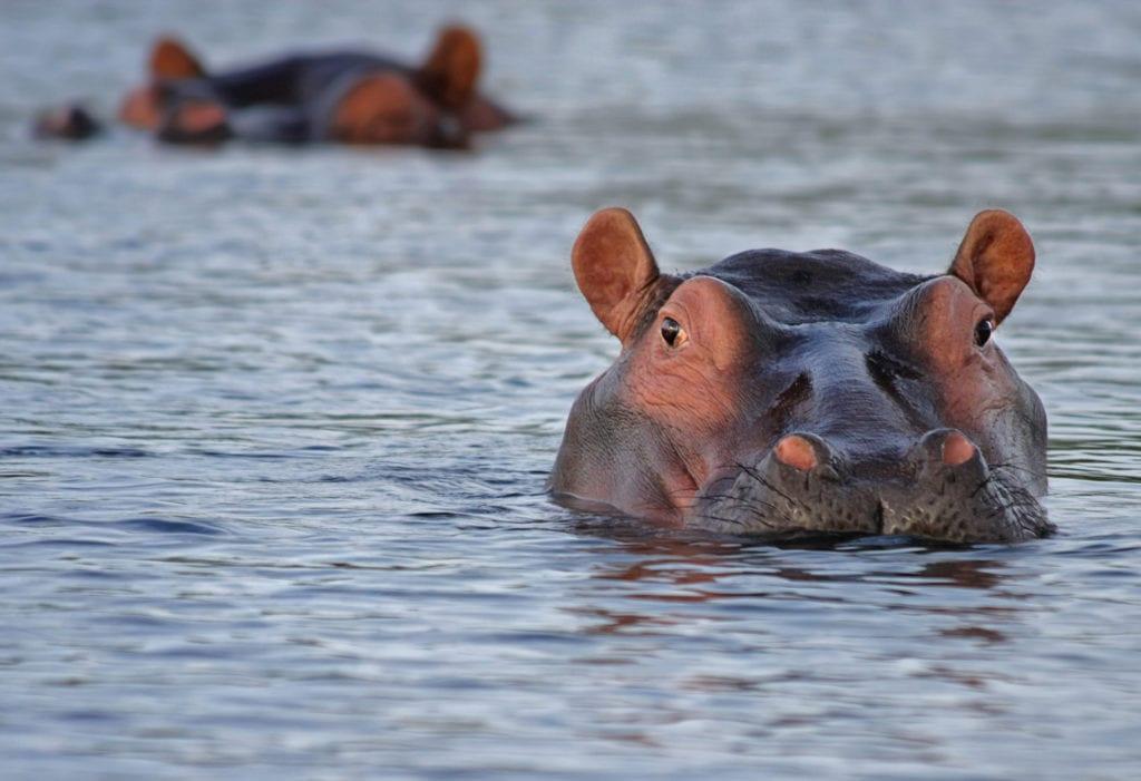 Gabon Hippo Swimming
