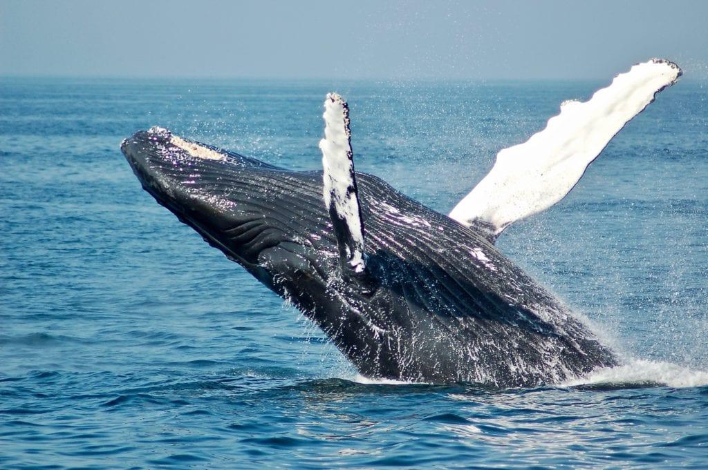 Gabon Humpback Whale
