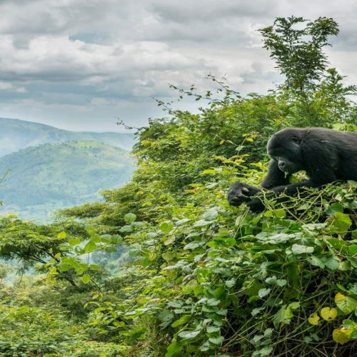 HERO Gorilla in Treetops of Uganda