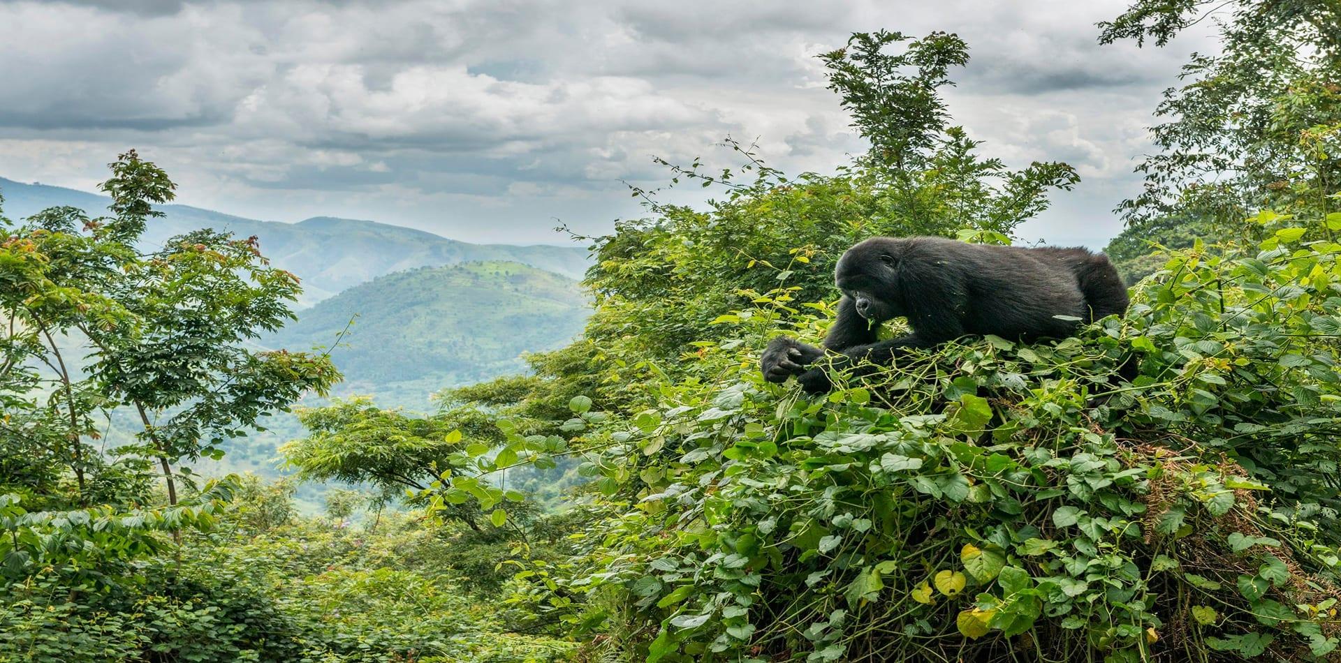 HERO Gorilla in Treetops of Uganda