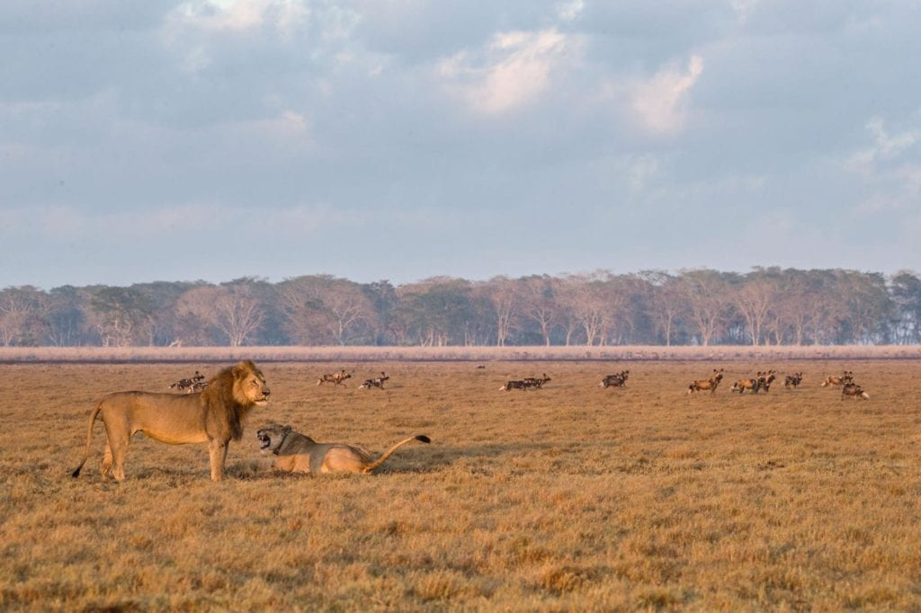 wild dogs lions gorongosa national park