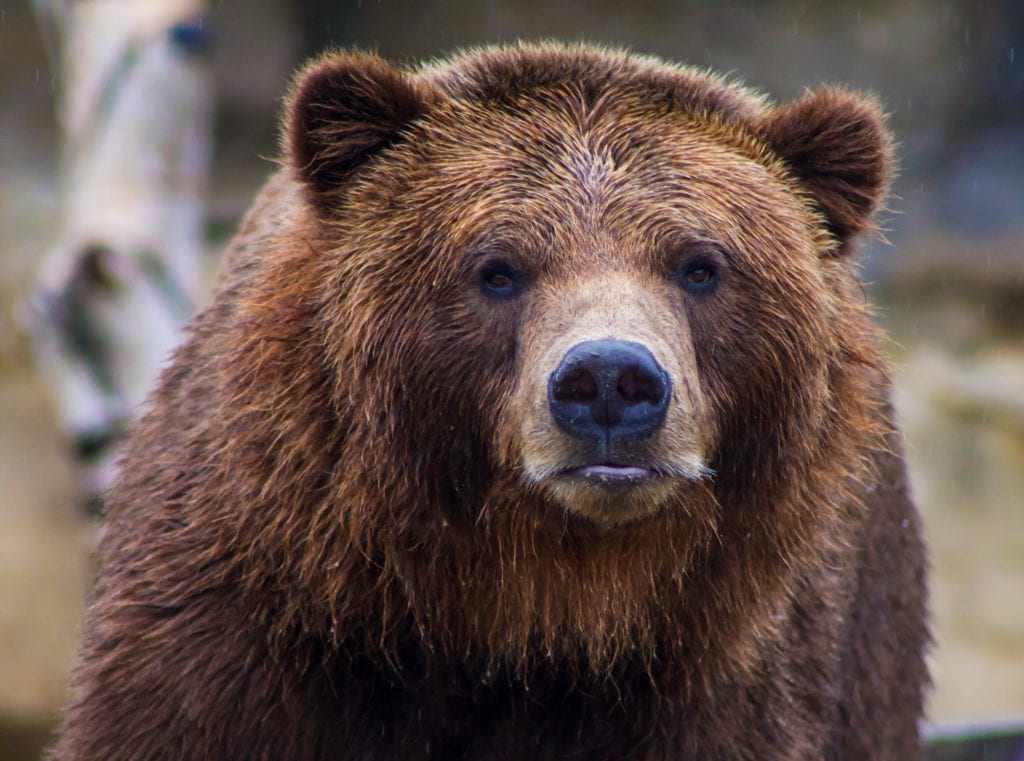 Close up of brown bear in Greece