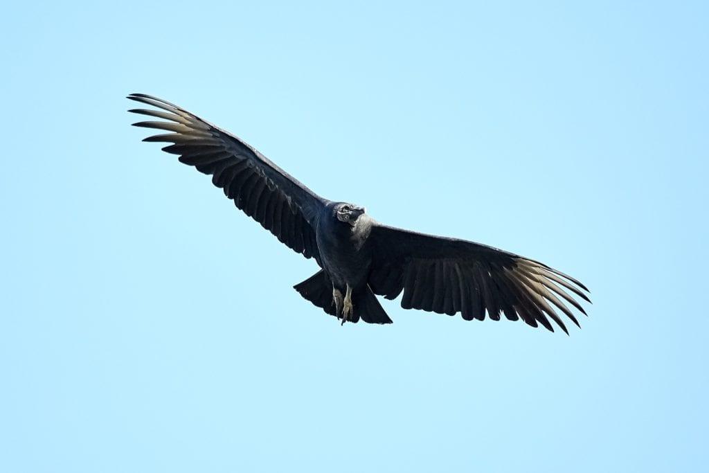 Flying vulture in Greece