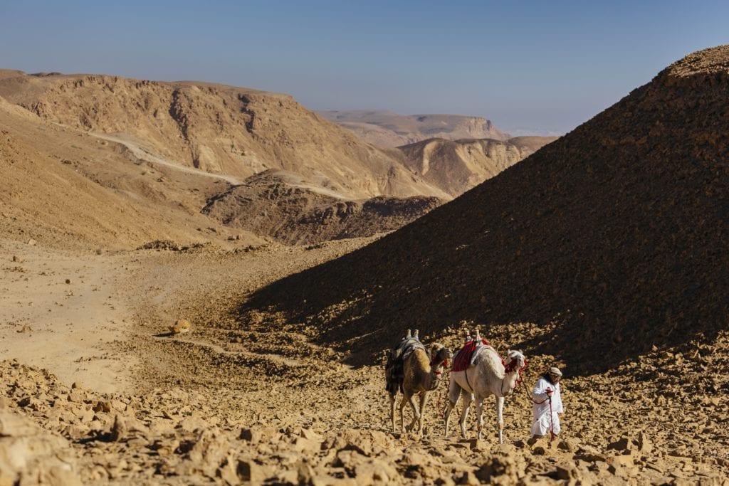 Israel Shaharut Camels