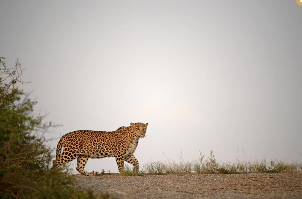Jawai India Leopard on the move
