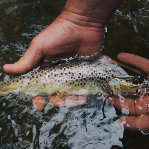 Kenya Brown Trout Fishing Mount Kenya Africa