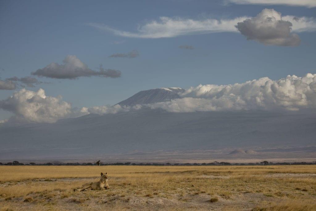 Kenya Lion Mount Kilimanjaro