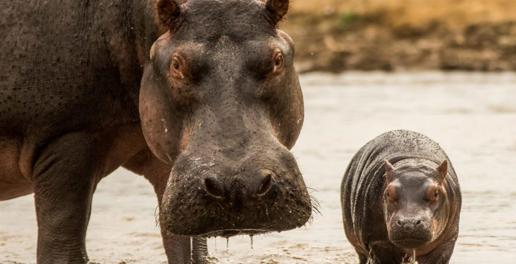 close up of mother and baby hippo Lulimbi Tented Camp