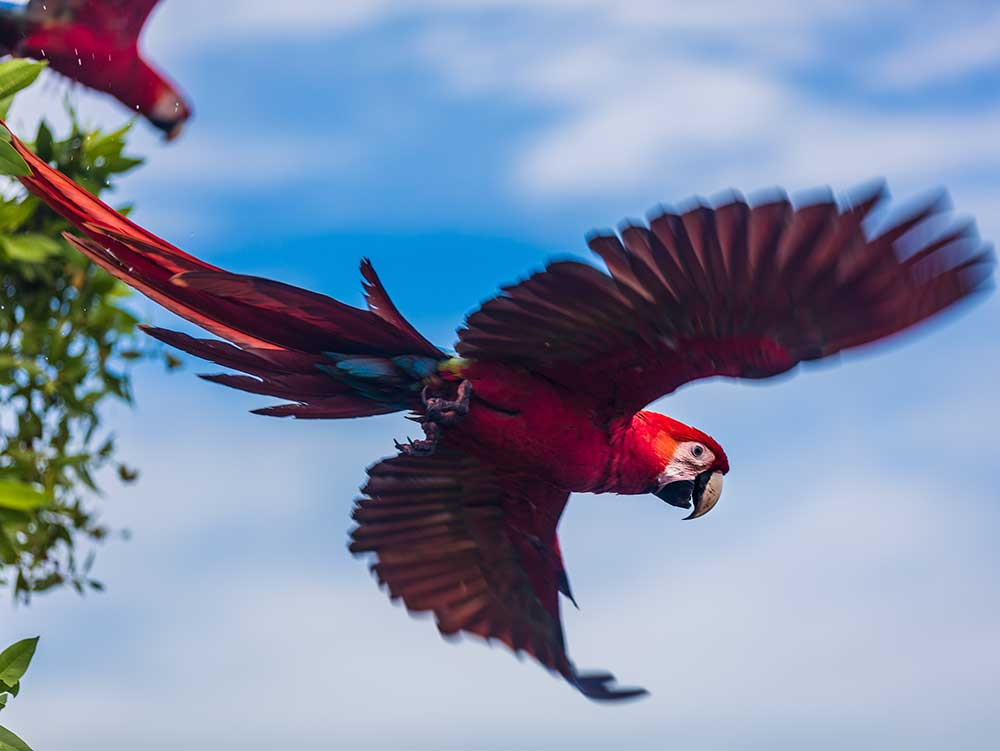 Costa Rican Macaw seen in one of the planet's most biodiverse locations