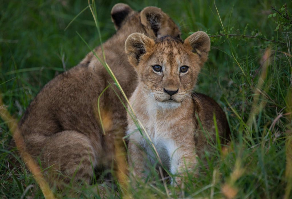 mara expedition camp lion cubs kenya
