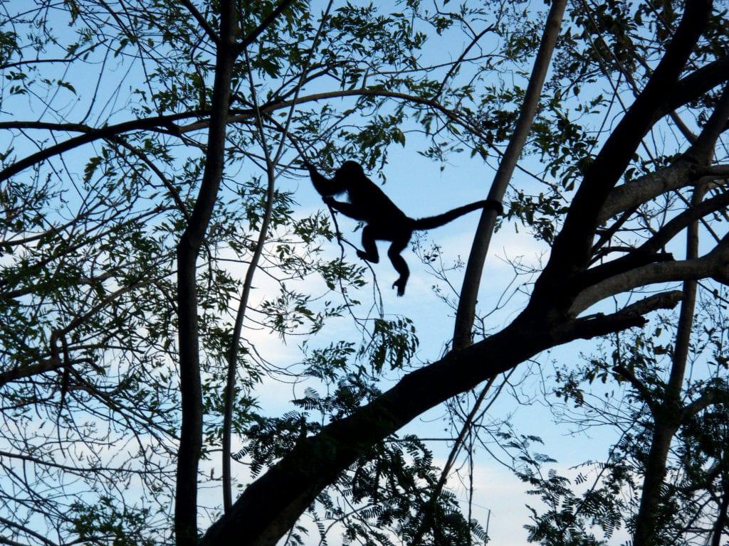Monkey Jumping Nicaragua