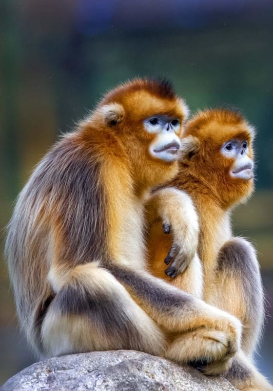 Snub-nosed monkeys in China