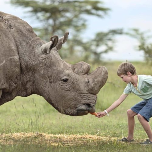 A child close enough to feed a rhino at the Ol Pejeta Bushcamp, Kenya