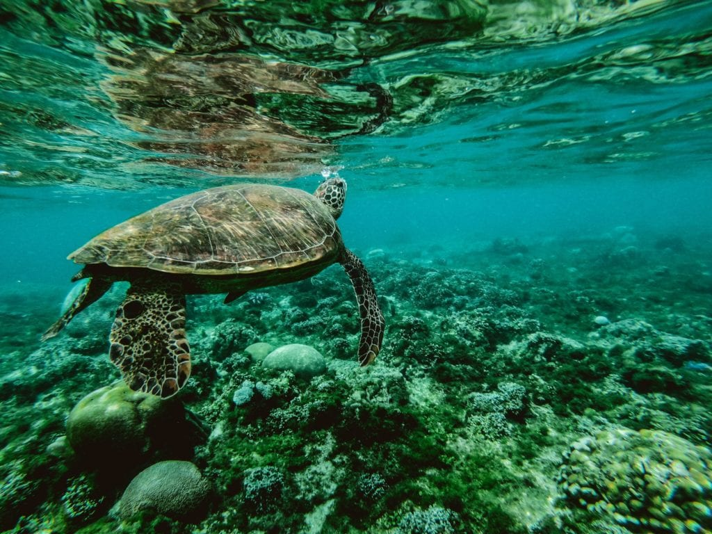 Turtle under the water in the Philippines