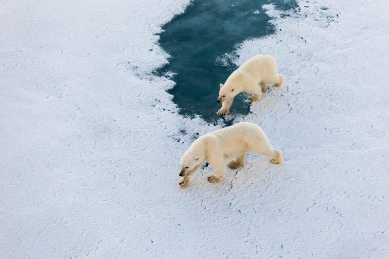 Polar bear mother with cute cub walking on ice