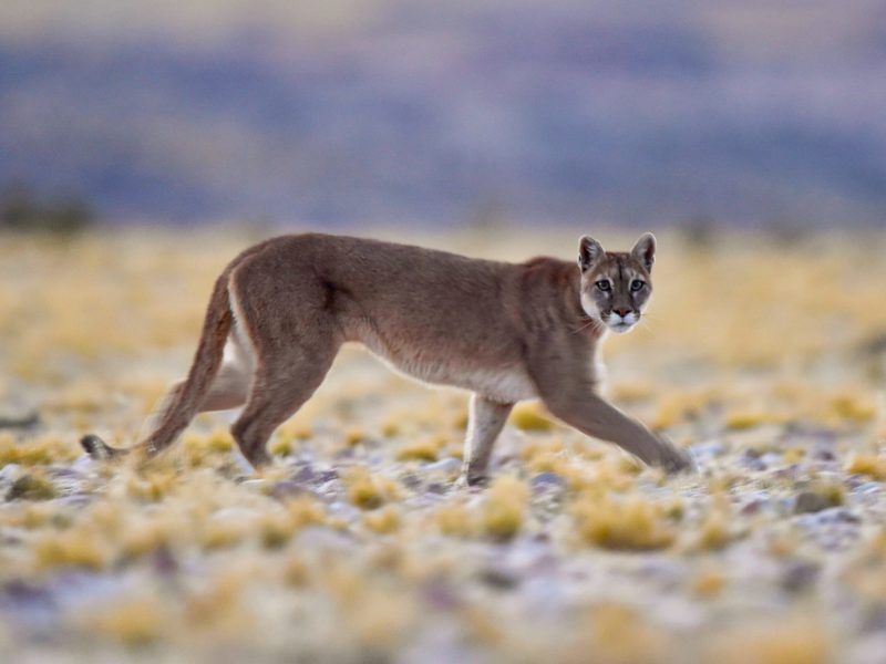 Puma in San Guillermo National Park Argentina