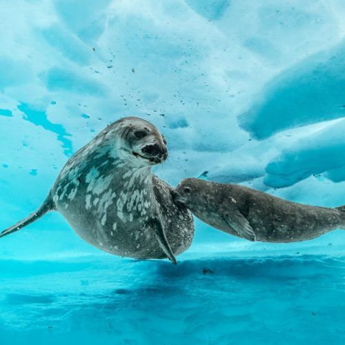 Seals under the ice in Antarctica