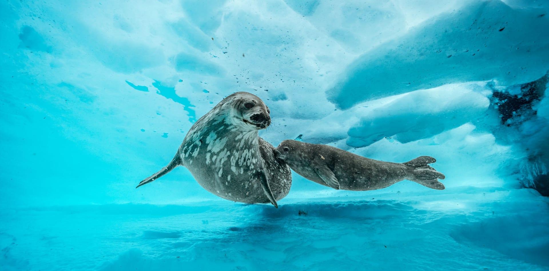 Seals under the ice in Antarctica