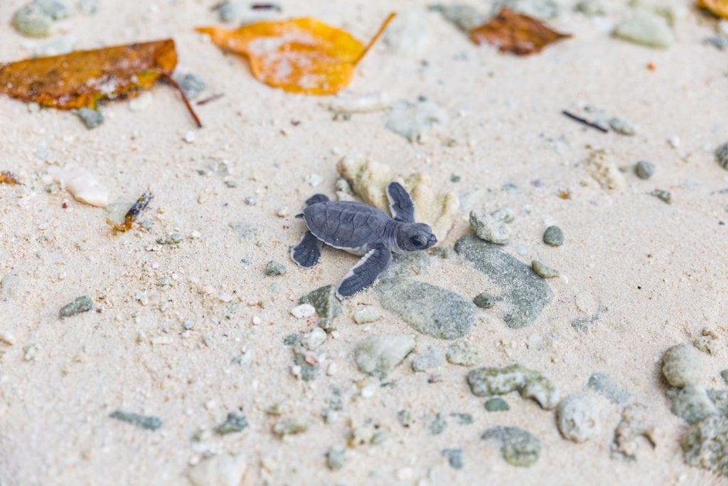 turtle release soneva jani maldives