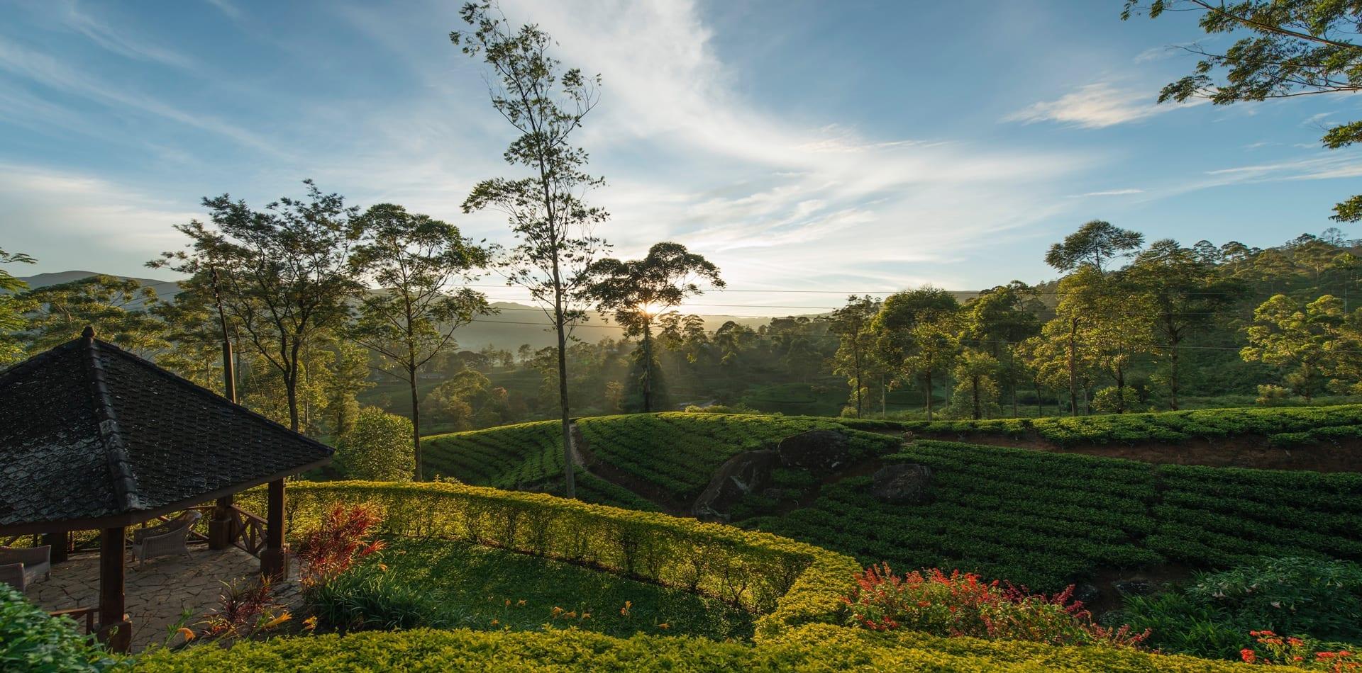 Sun shining across tea fields in Sri Lanka
