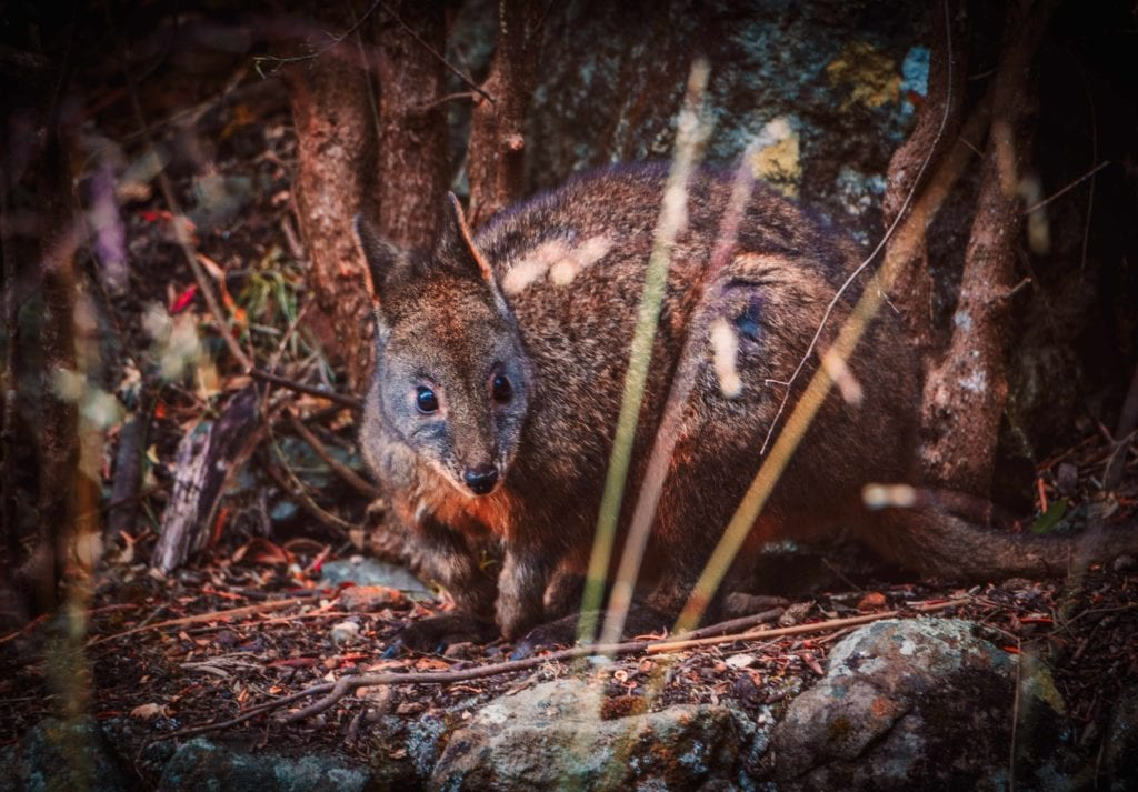 Wallaby in Tasmania