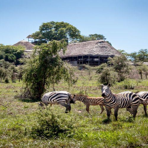 Apoka Safari Exterior with Zebras in Uganda