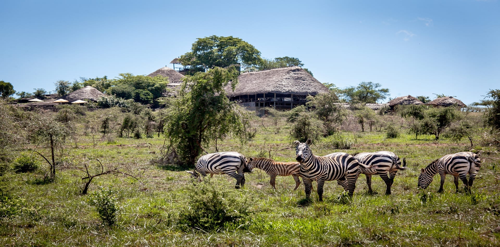 Apoka Safari Exterior with Zebras in Uganda