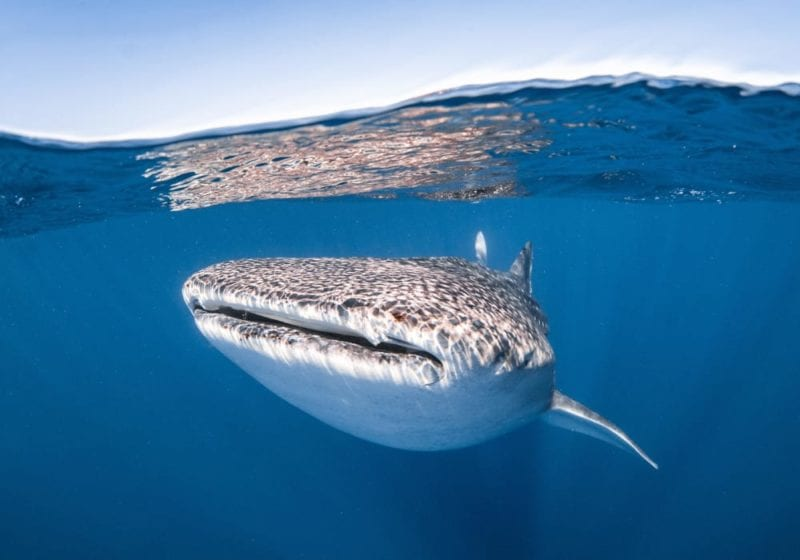 Whale shark in the seas of Australasia