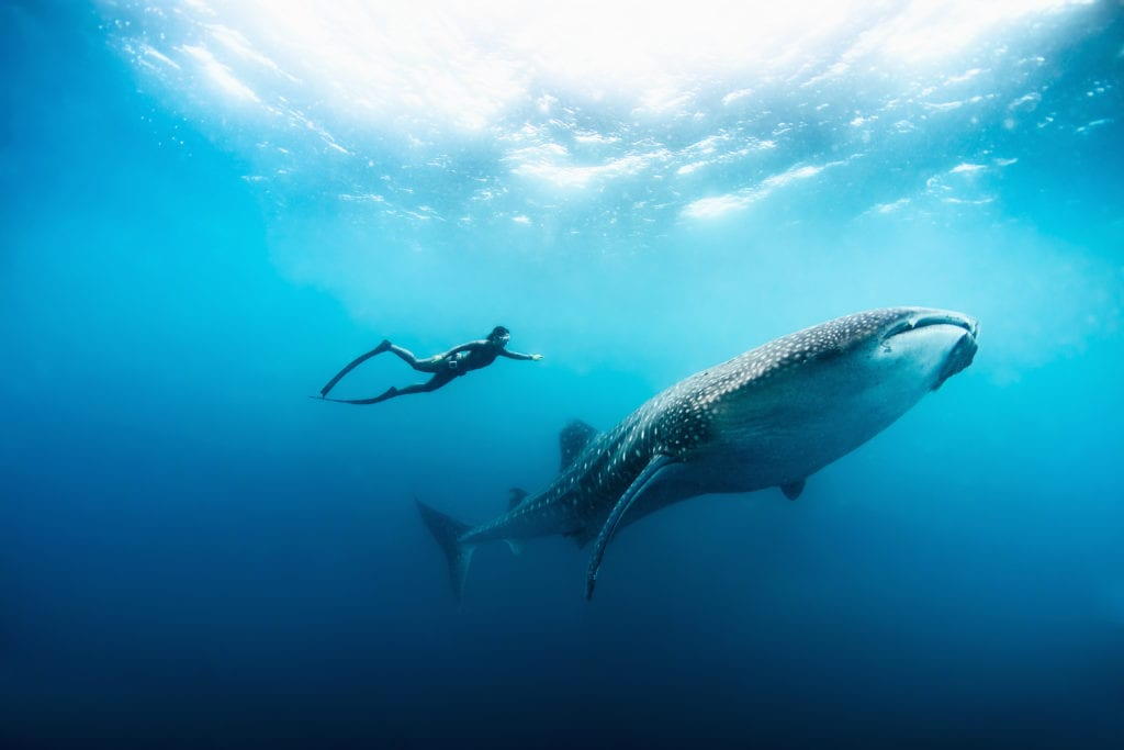 Free diving with a whale shark