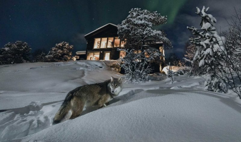 majestic wolf standing outside the lodge