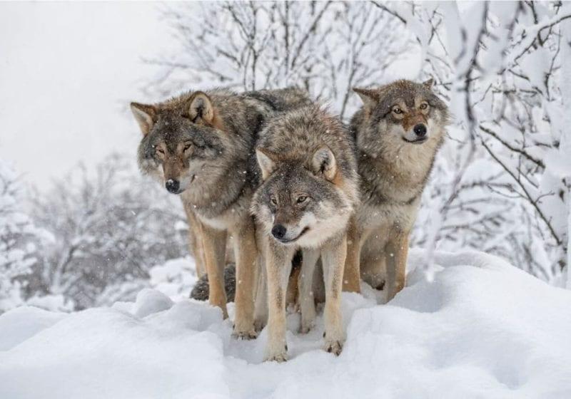 Wolf pack in Norway, Europe
