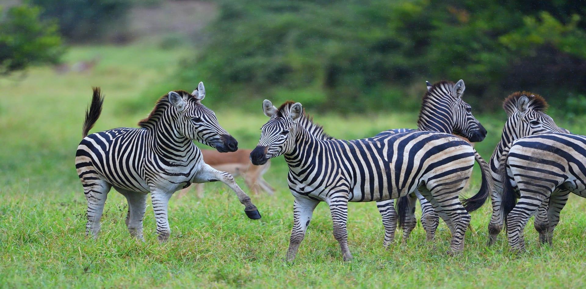 Zimbabwe zebras on safari