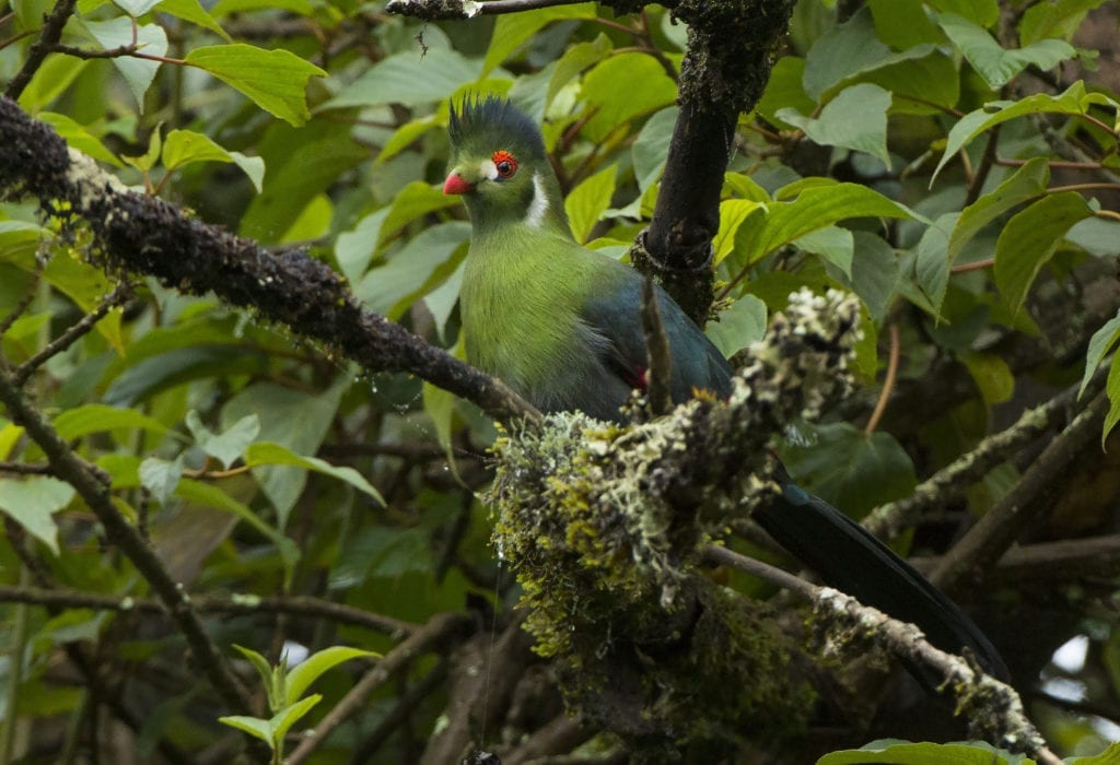 Bird and Wildlife White Cheeked Turaco in Ethiopia Forests