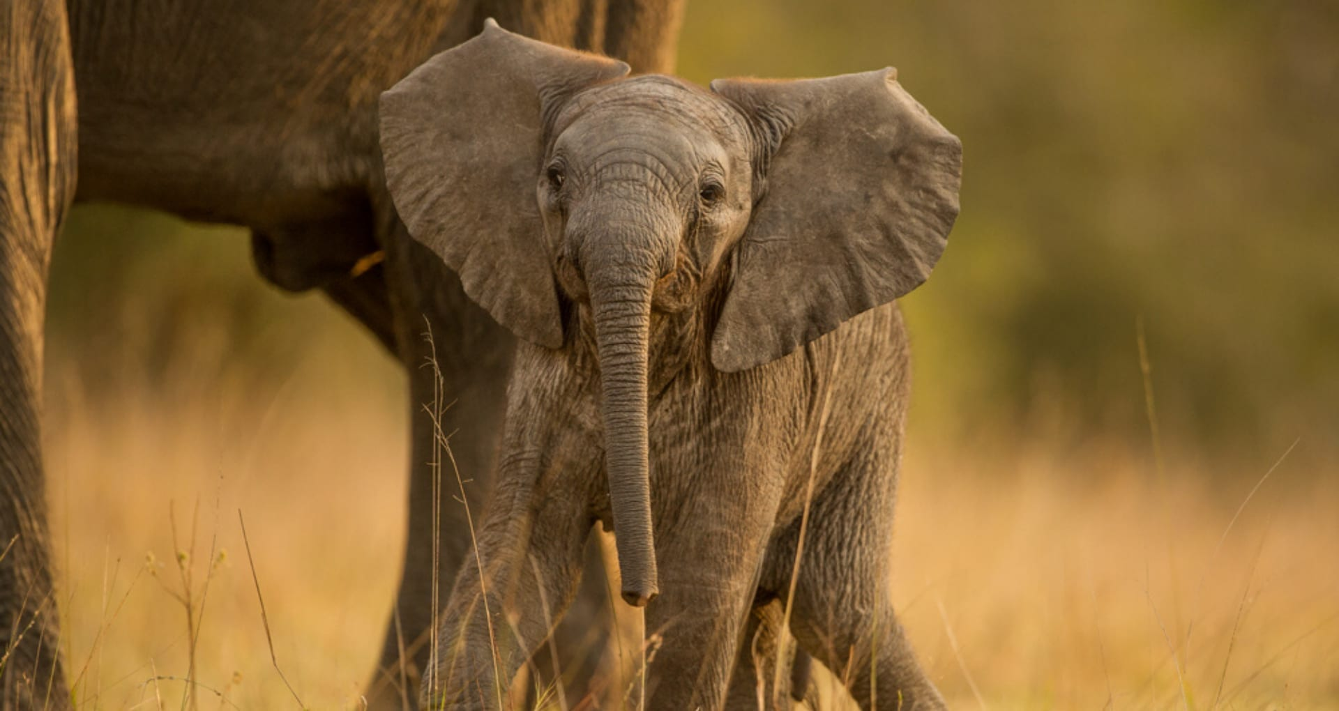 Elephant calf stood by its mother