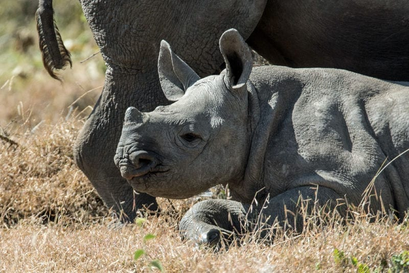 Baby rhino lying by its mother in Africa