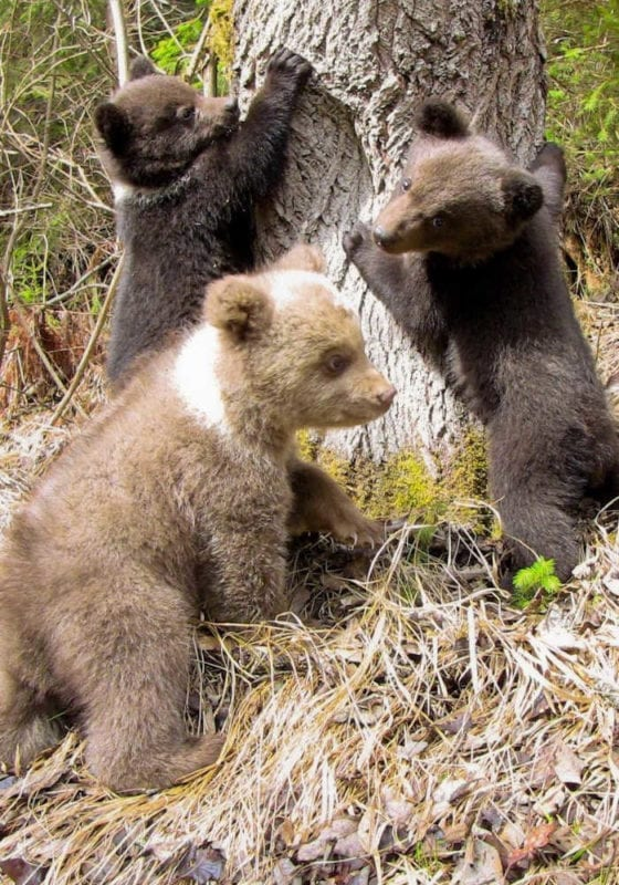 Bear cubs in the wilds of Romania