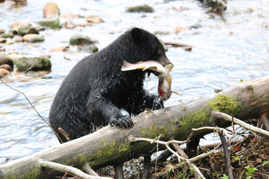British Columbia bear catching fish