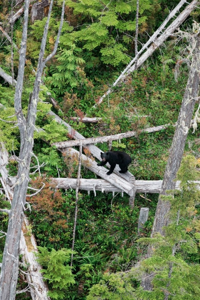 British Columbia black bear climbing