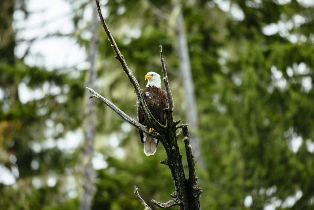 British Columbia eagle