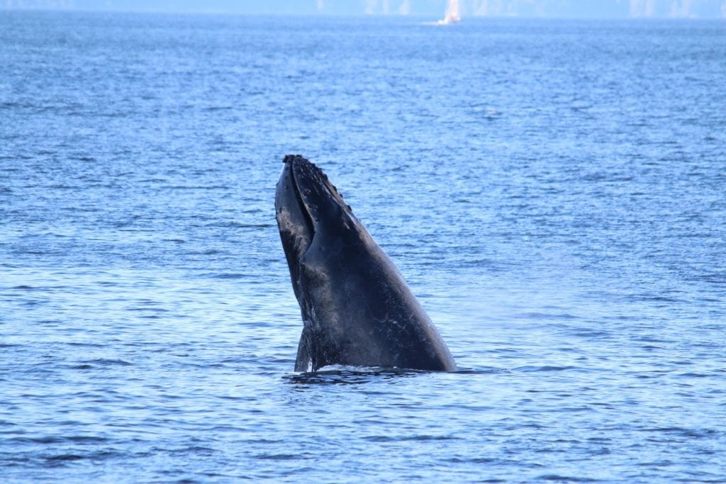 British Columbia humpback whale