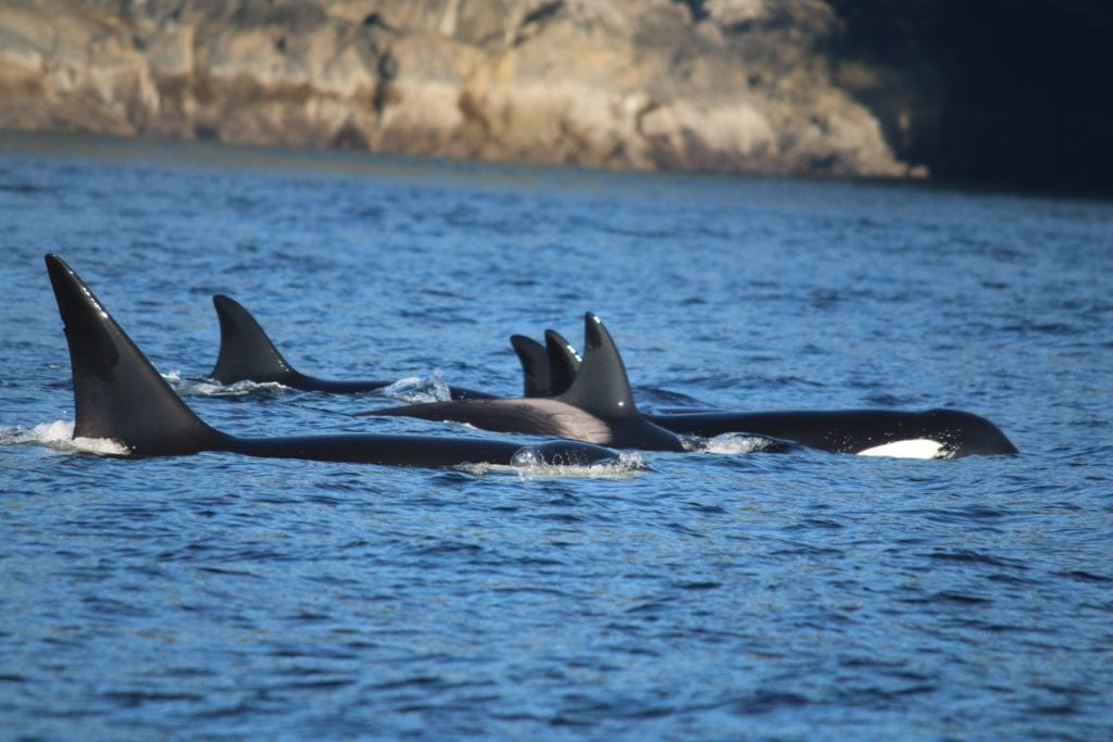 British Columbia ocra whales