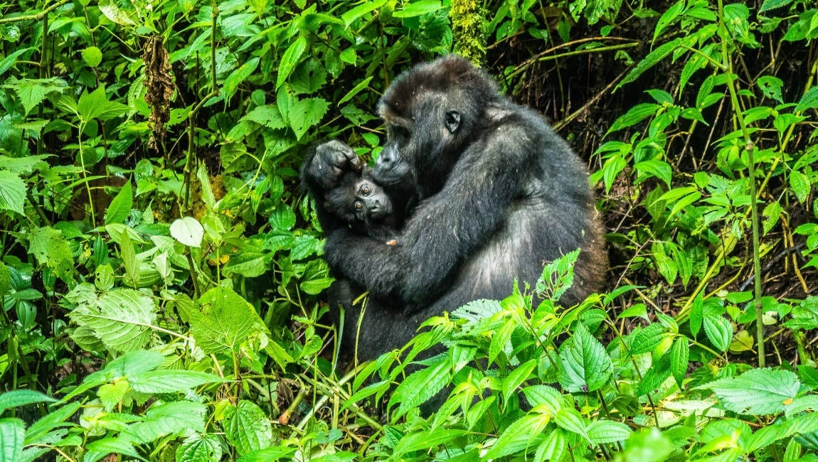 Mother gorilla with her baby in Congo