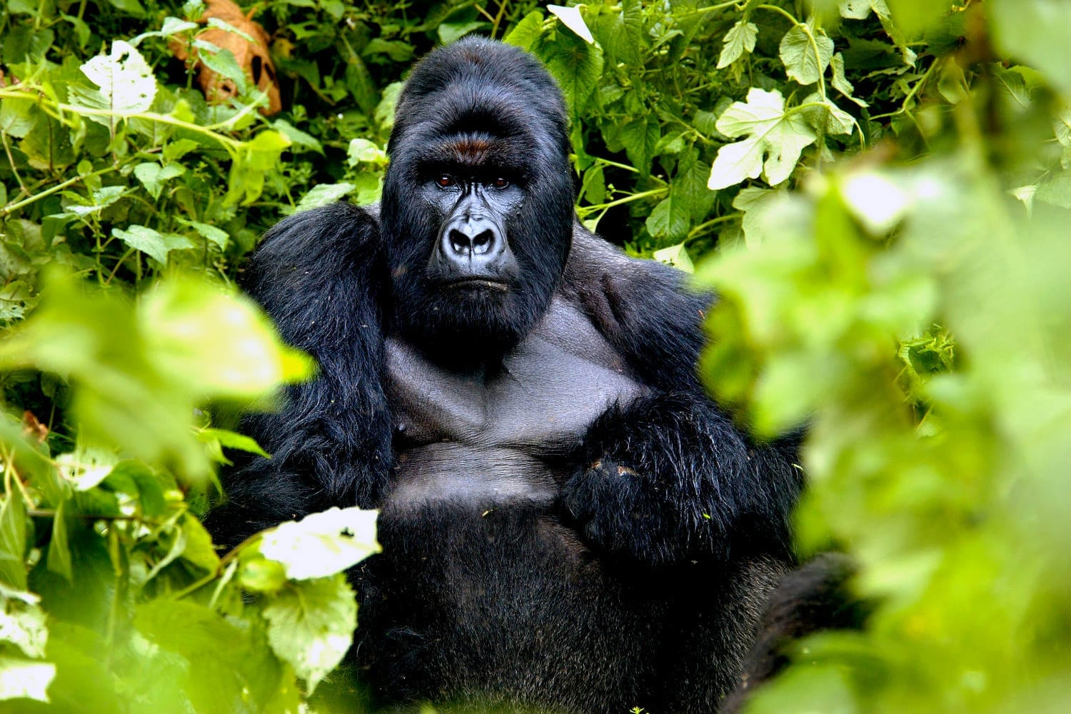 Gorilla in the jungles of Congo
