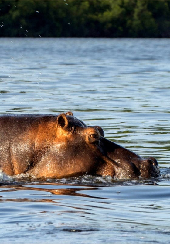 Large hippo wallowing in the waters of Gabon