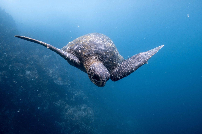 Sea turtle near the Galapagos Islands