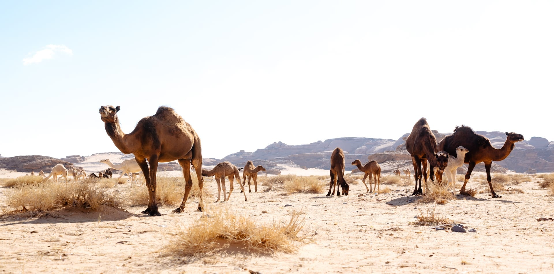 a collection of camels in the desert, AlUla, Saudi