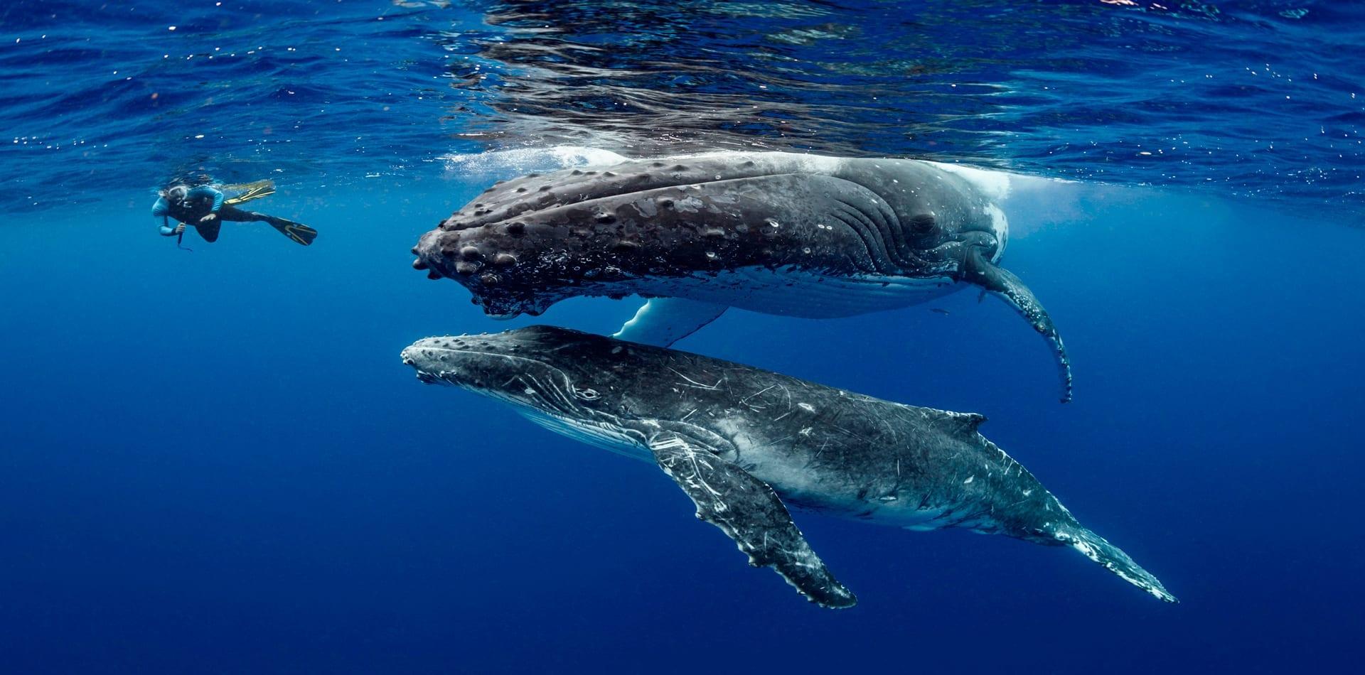 humpback whales underwater snorkelling