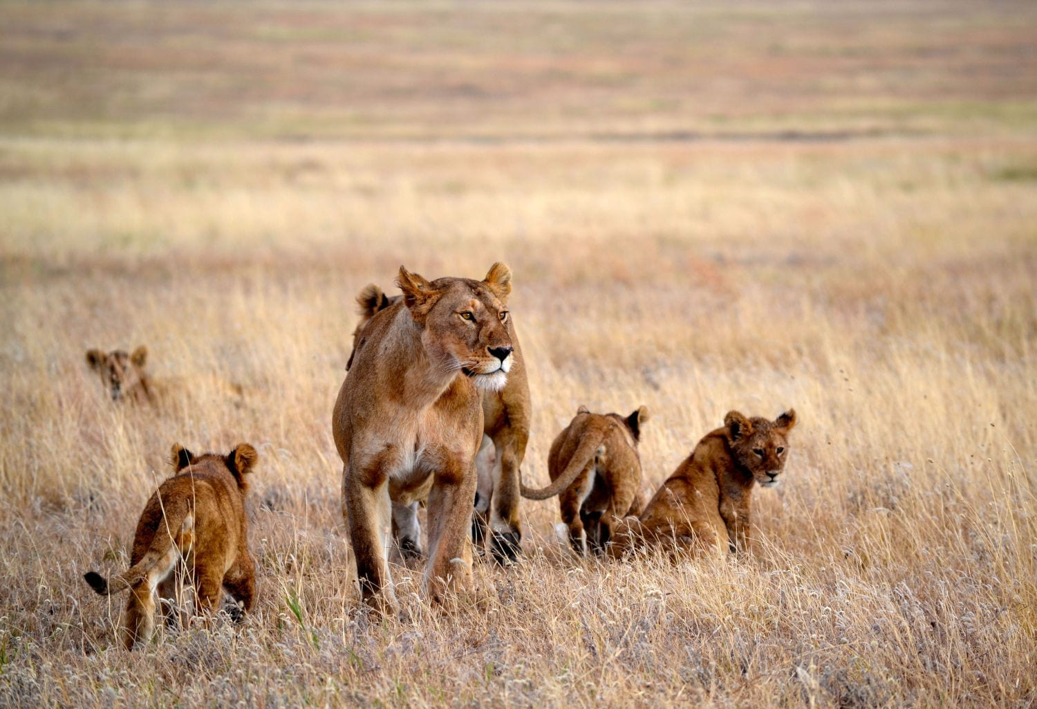 A pride of lions in Africa