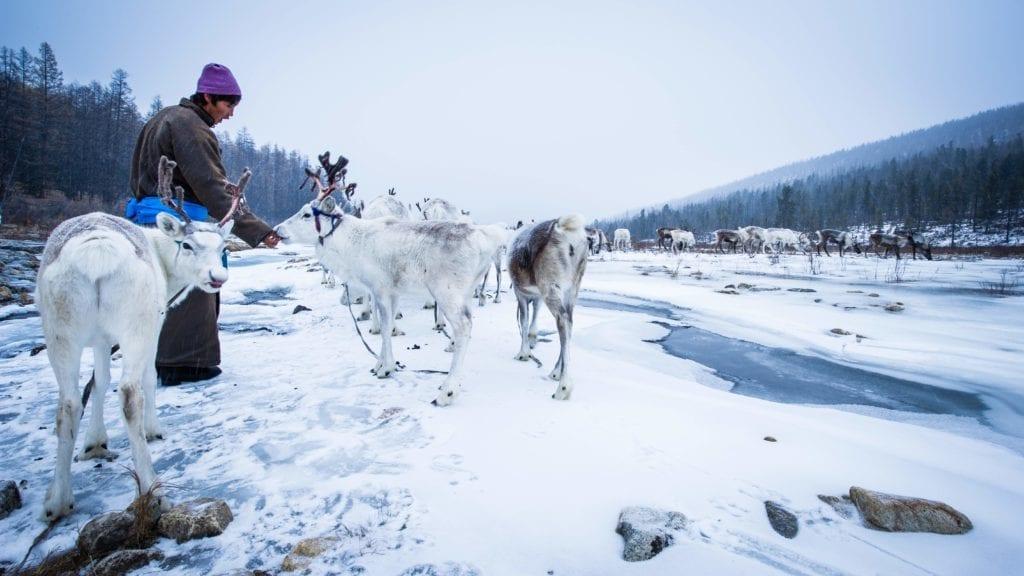 Mongolia Tsaatan Reindeer Herders reindeer