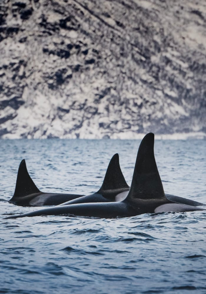 An orca pod breaking the surface in Norway